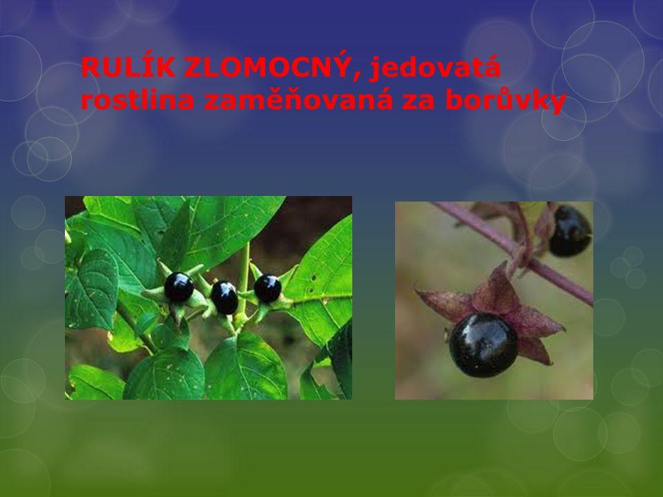 RULÍK ZLOMOCNÝ, jedovatá rostlina zaměňovaná za borůvky