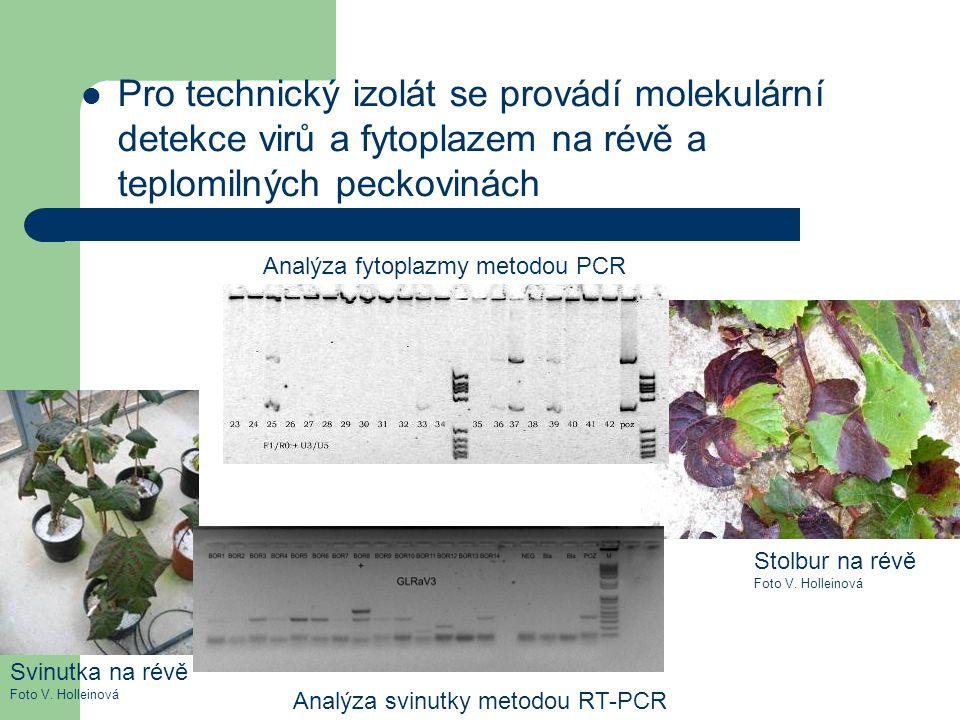 Pro technický izolát se provádí molekulární detekce virů a fytoplazem na révě a teplomilných peckovinách Stolbur na révě Foto V. Holleinová Svinutka n