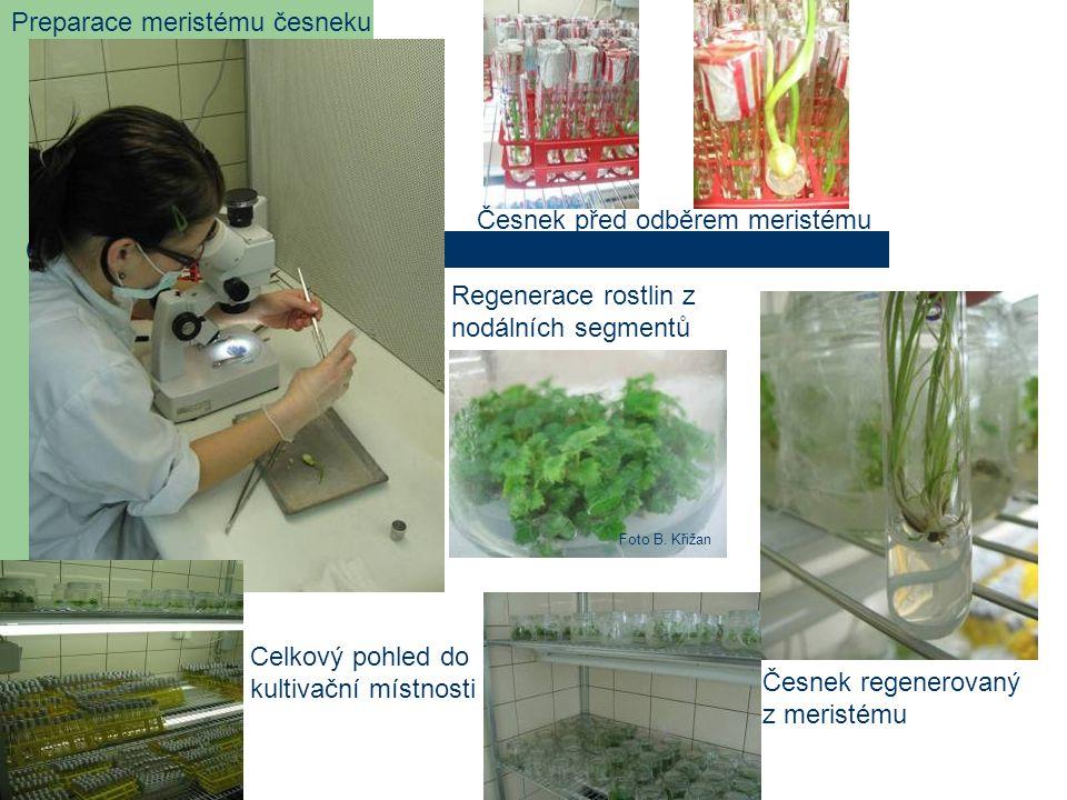 Preparace meristému česneku Česnek před odběrem meristému Česnek regenerovaný z meristému Celkový pohled do kultivační místnosti Regenerace rostlin z
