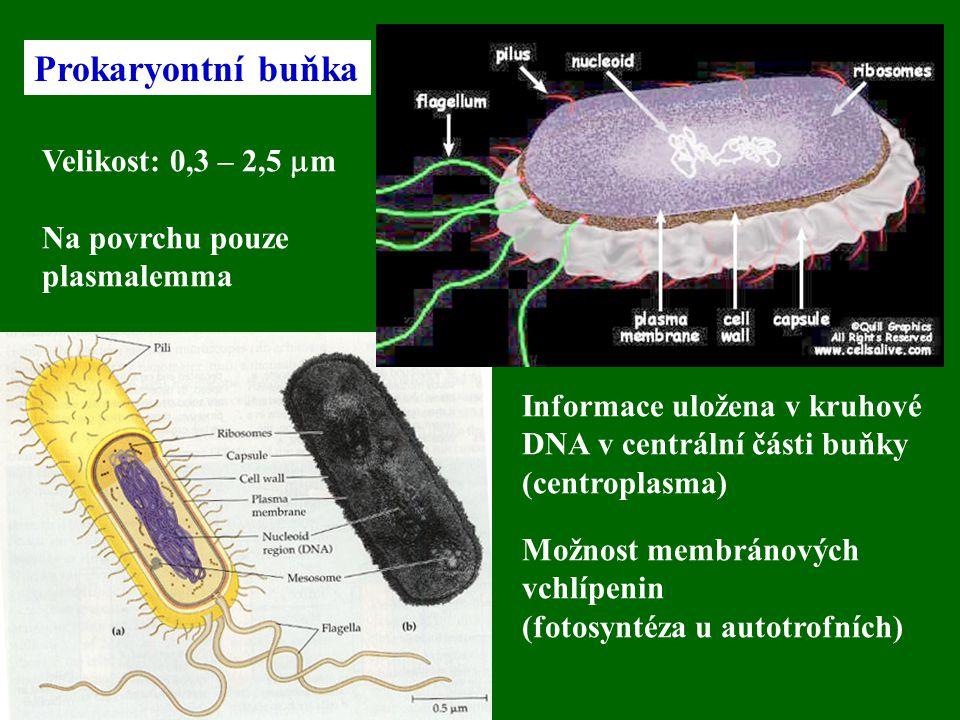Prokaryontní buňka Velikost: 0,3 – 2,5  m Na povrchu pouze plasmalemma Informace uložena v kruhové DNA v centrální části buňky (centroplasma) Možnost membránových vchlípenin (fotosyntéza u autotrofních)