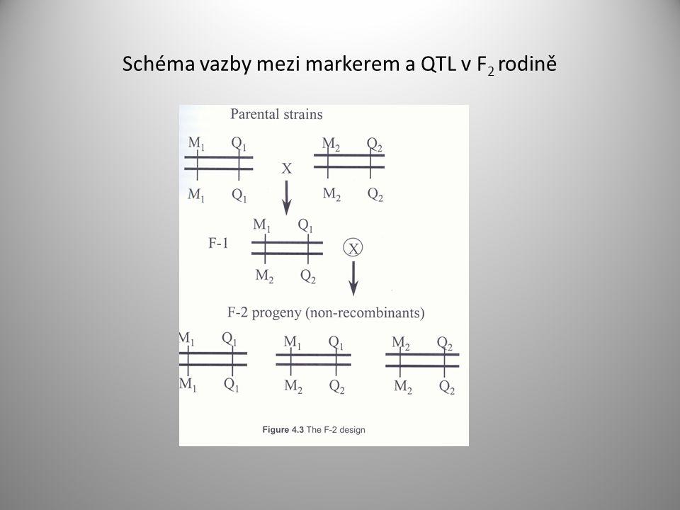 Schéma vazby mezi markerem a QTL v F 2 rodině