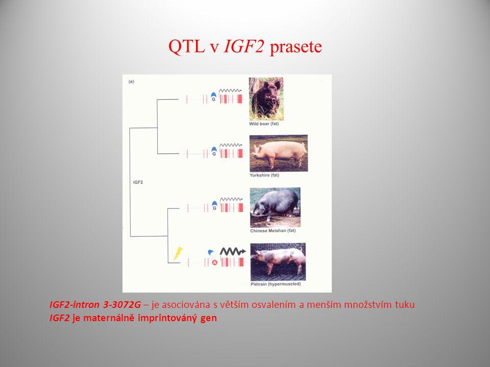 QTL v IGF2 prasete IGF2-intron 3-3072G – je asociována s větším osvalením a menším množstvím tuku IGF2 je maternálně imprintováný gen