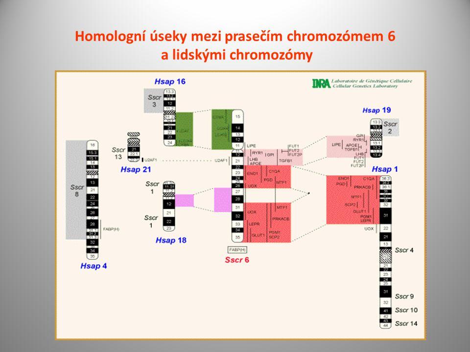 Homologní úseky mezi prasečím chromozómem 6 a lidskými chromozómy
