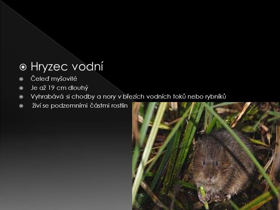  Hryzec vodní  Čeleď myšovité  Je až 19 cm dlouhý  Vyhrabává si chodby a nory v březích vodních toků nebo rybníků  živí se podzemními částmi rostlin