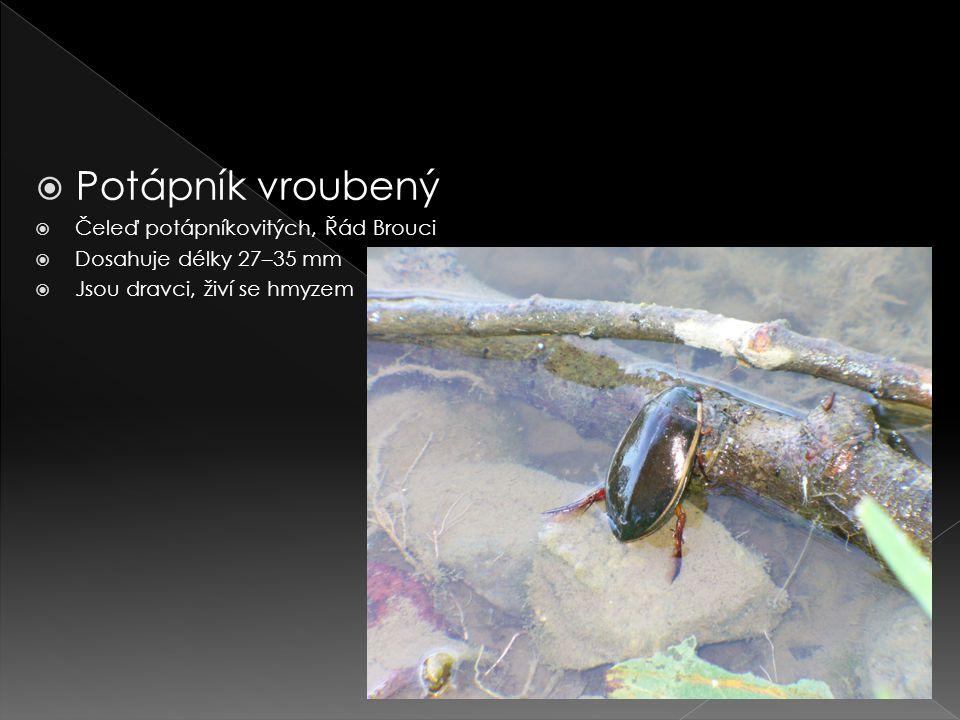  Potápník vroubený  Čeleď potápníkovitých, Řád Brouci  Dosahuje délky 27–35 mm  Jsou dravci, živí se hmyzem