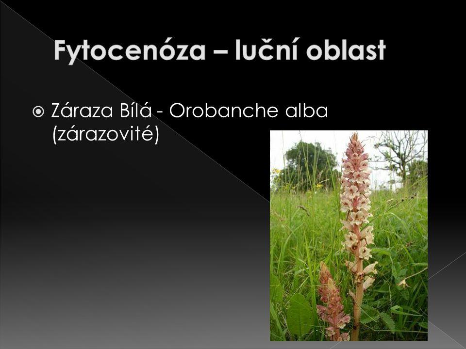  Záraza Bílá - Orobanche alba (zárazovité)