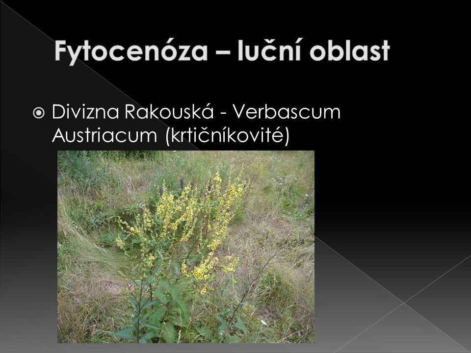  Divizna Rakouská - Verbascum Austriacum (krtičníkovité)