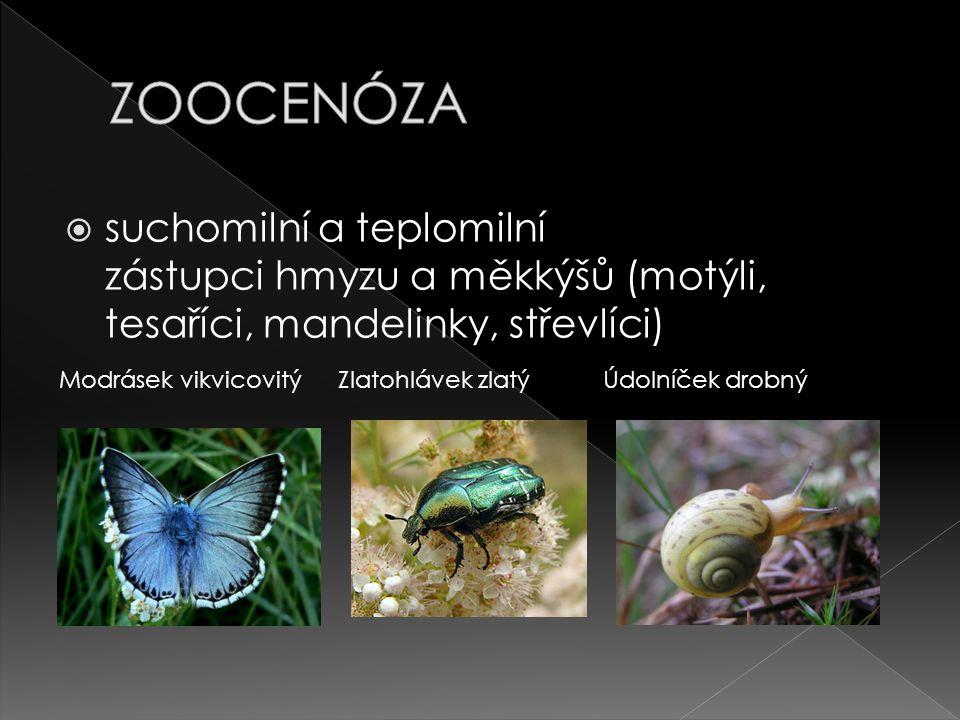  suchomilní a teplomilní zástupci hmyzu a měkkýšů (motýli, tesaříci, mandelinky, střevlíci) Modrásek vikvicovitýZlatohlávek zlatýÚdolníček drobný