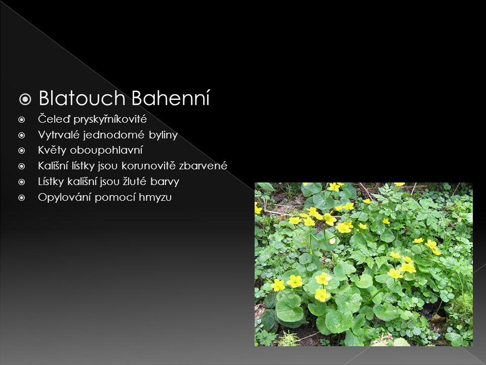  Blatouch Bahenní  Čeleď pryskyřníkovité  Vytrvalé jednodomé byliny  Květy oboupohlavní  Kališní lístky jsou korunovitě zbarvené  Lístky kališní jsou žluté barvy  Opylování pomocí hmyzu