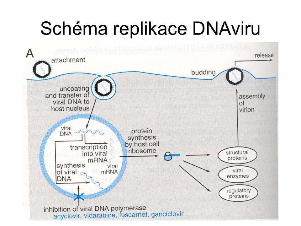 Schéma replikace DNAviru