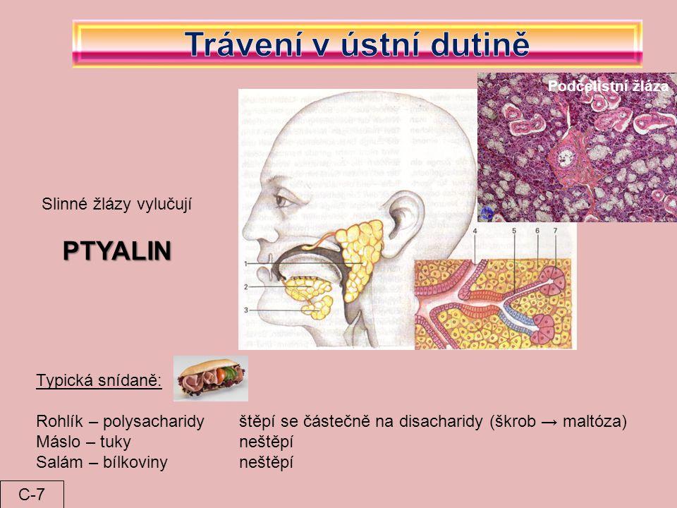 Podčelistní žláza Slinné žlázy vylučují PTYALIN Typická snídaně: Rohlík – polysacharidyštěpí se částečně na disacharidy (škrob → maltóza) Máslo – tukyneštěpí Salám – bílkovinyneštěpí C-7