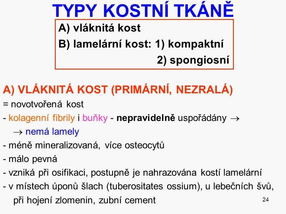 24 TYPY KOSTNÍ TKÁNĚ A) vláknitá kost B) lamelární kost: 1) kompaktní 2) spongiosní A) VLÁKNITÁ KOST (PRIMÁRNÍ, NEZRALÁ) = novotvořená kost - kolagenn