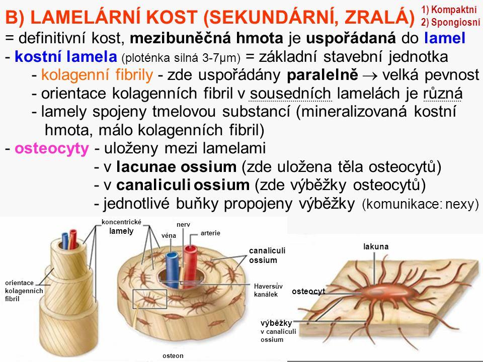 26 B) LAMELÁRNÍ KOST (SEKUNDÁRNÍ, ZRALÁ) = definitivní kost, mezibuněčná hmota je uspořádaná do lamel - kostní lamela (ploténka silná 3-7µm) = základn
