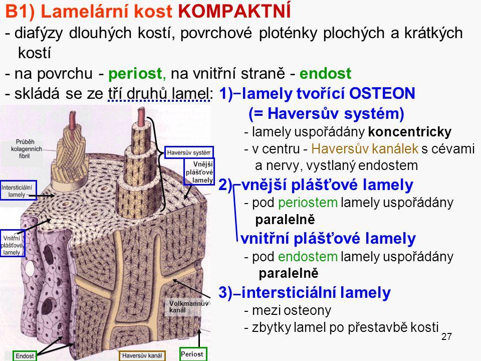 27 B1) Lamelární kost KOMPAKTNÍ - diafýzy dlouhých kostí, povrchové ploténky plochých a krátkých kostí - na povrchu - periost, na vnitřní straně - end