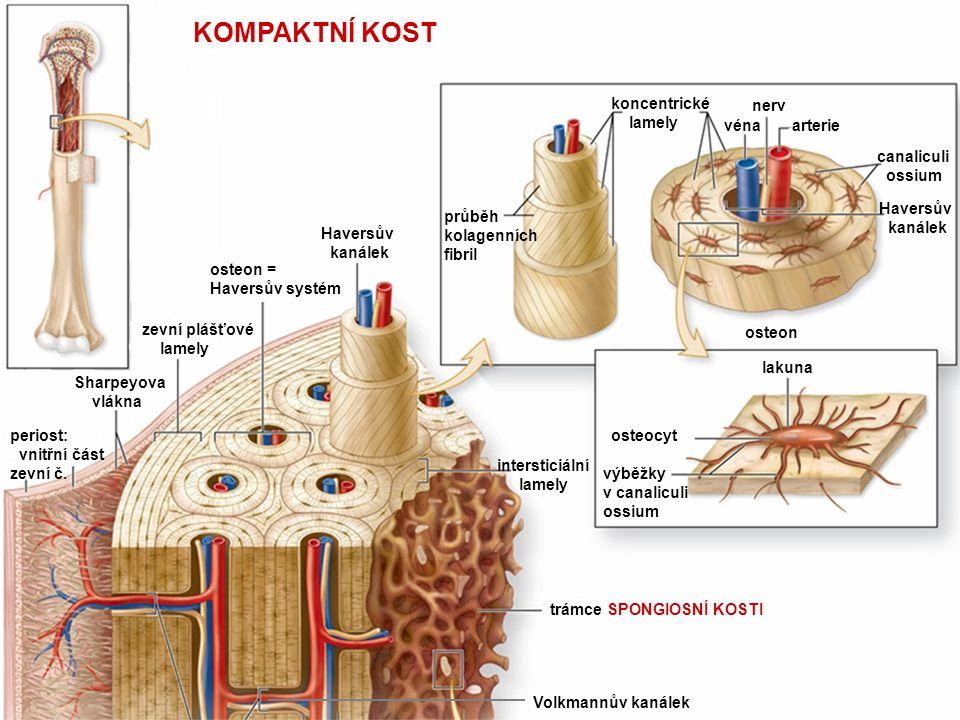 28 KOMPAKTNÍ KOST koncentrické lamely véna nerv arterie canaliculi ossium Haversův kanálek průběh kolagenních fibril lakuna osteocyt výběžky v canalic