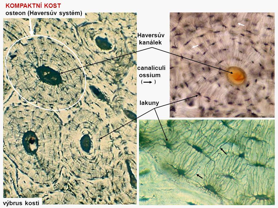 31 canaliculi ossium ( ) KOMPAKTNÍ KOST osteon (Haversův systém) výbrus kosti Haversův kanálek lakuny