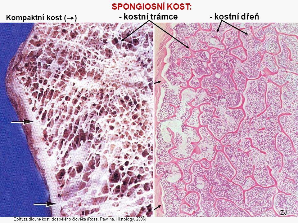 34 SPONGIOSNÍ KOST: - kostní trámce - kostní dřeň Epifýza dlouhé kosti dospělého člověka (Ross, Pawlina, Histology, 2006) ZJ Kompaktní kost ( )