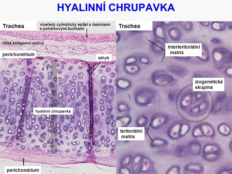 8 HYALINNÍ CHRUPAVKA Trachea perichondrium hyalinní chrupavka Trachea interteritoriální matrix izogenetická skupina teritoriální matrix záhyb víceřadý