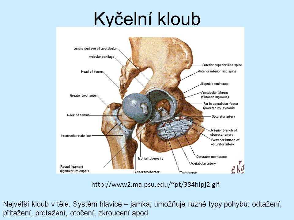 Kyčelní kloub http://www2.ma.psu.edu/~pt/384hipj2.gif Největší kloub v těle. Systém hlavice – jamka; umožňuje různé typy pohybů: odtažení, přitažení,