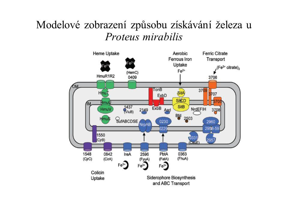 Modelové zobrazení způsobu získávání železa u Proteus mirabilis Receptory na OM jsou červené Vstup hemu je zelený Údajný systém vstupu Fecitrátu je oranžový Proteiny účastnící se bio- syntézy sideroforů- modré.