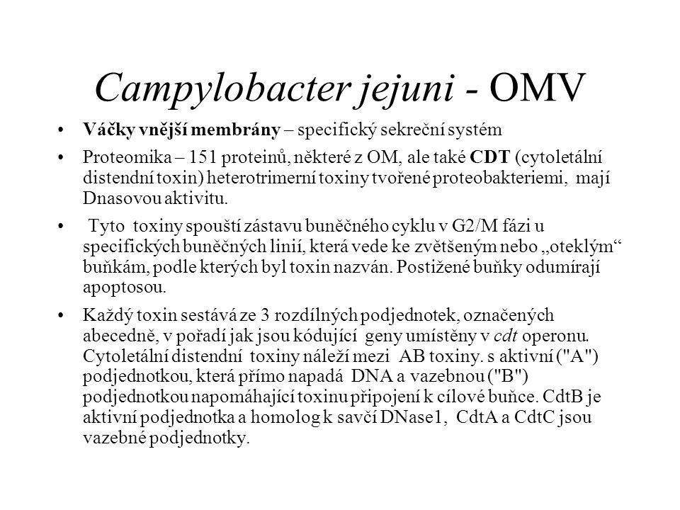 Campylobacter jejuni - OMV Váčky vnější membrány – specifický sekreční systém Proteomika – 151 proteinů, některé z OM, ale také CDT (cytoletální distendní toxin) heterotrimerní toxiny tvořené proteobakteriemi, mají Dnasovou aktivitu.