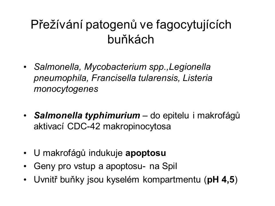 Přežívání patogenů ve fagocytujících buňkách Salmonella, Mycobacterium spp.,Legionella pneumophila, Francisella tularensis, Listeria monocytogenes Salmonella typhimurium – do epitelu i makrofágů aktivací CDC-42 makropinocytosa U makrofágů indukuje apoptosu Geny pro vstup a apoptosu- na SpiI Uvnitř buňky jsou kyselém kompartmentu (pH 4,5)
