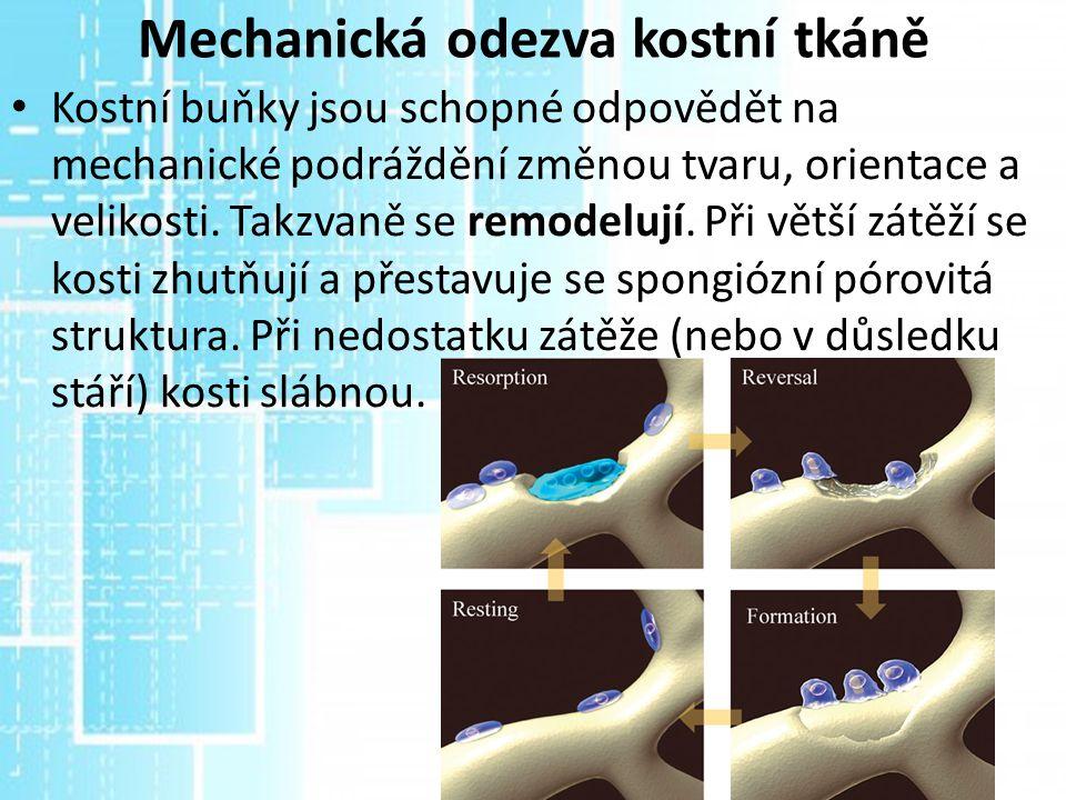 Mechanická odezva kostní tkáně Kostní buňky jsou schopné odpovědět na mechanické podráždění změnou tvaru, orientace a velikosti. Takzvaně se remodeluj