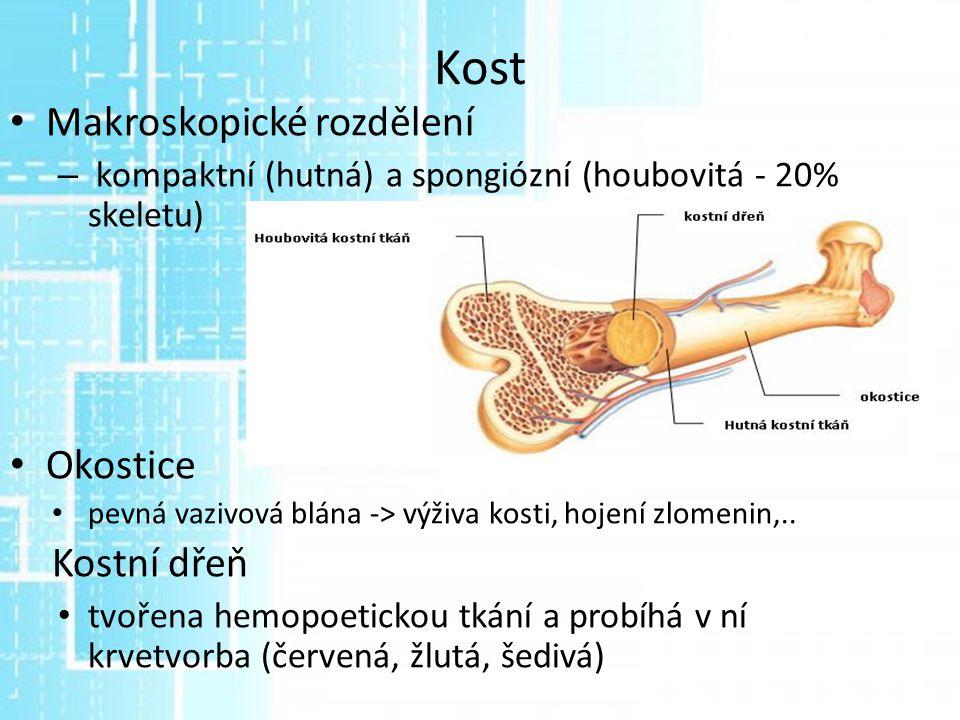 Kost Makroskopické rozdělení – kompaktní (hutná) a spongiózní (houbovitá - 20% skeletu) Okostice pevná vazivová blána -> výživa kosti, hojení zlomenin