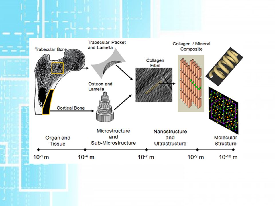Mechanická odezva kostní tkáně Kostní buňky jsou schopné odpovědět na mechanické podráždění změnou tvaru, orientace a velikosti.