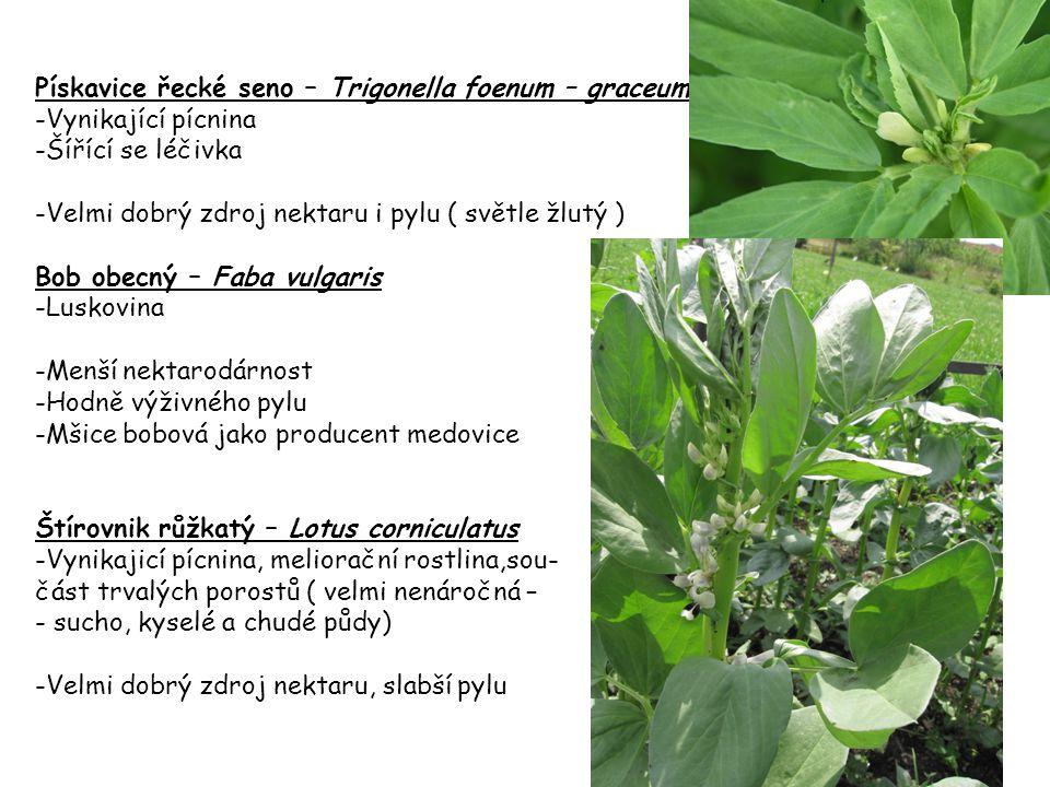 Pískavice řecké seno – Trigonella foenum – graceum -Vynikající pícnina -Šířící se léčivka -Velmi dobrý zdroj nektaru i pylu ( světle žlutý ) Bob obecn