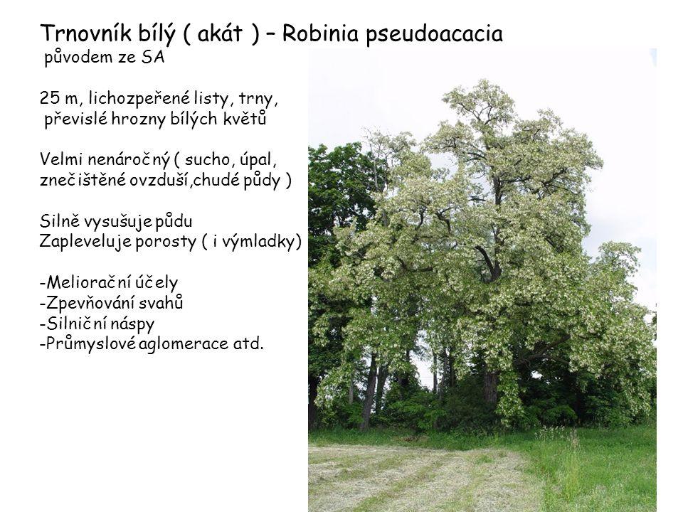 Trnovník bílý ( akát ) – Robinia pseudoacacia původem ze SA 25 m, lichozpeřené listy, trny, převislé hrozny bílých květů Velmi nenáročný ( sucho, úpal
