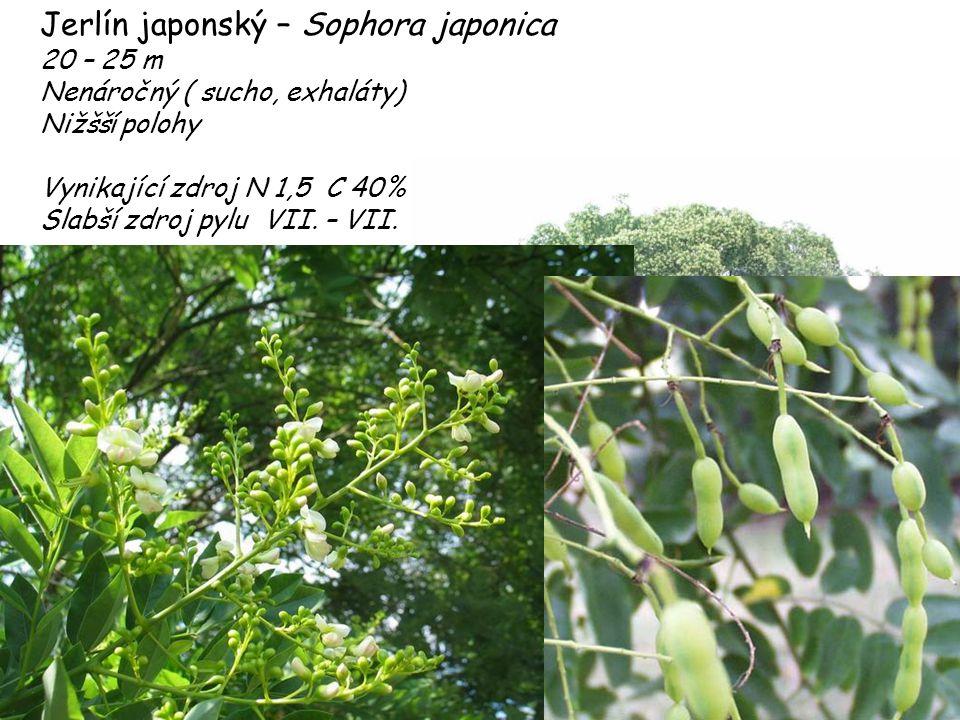Jerlín japonský – Sophora japonica 20 – 25 m Nenáročný ( sucho, exhaláty) Nižšší polohy Vynikající zdroj N 1,5 C 40% Slabší zdroj pylu VII. – VII.