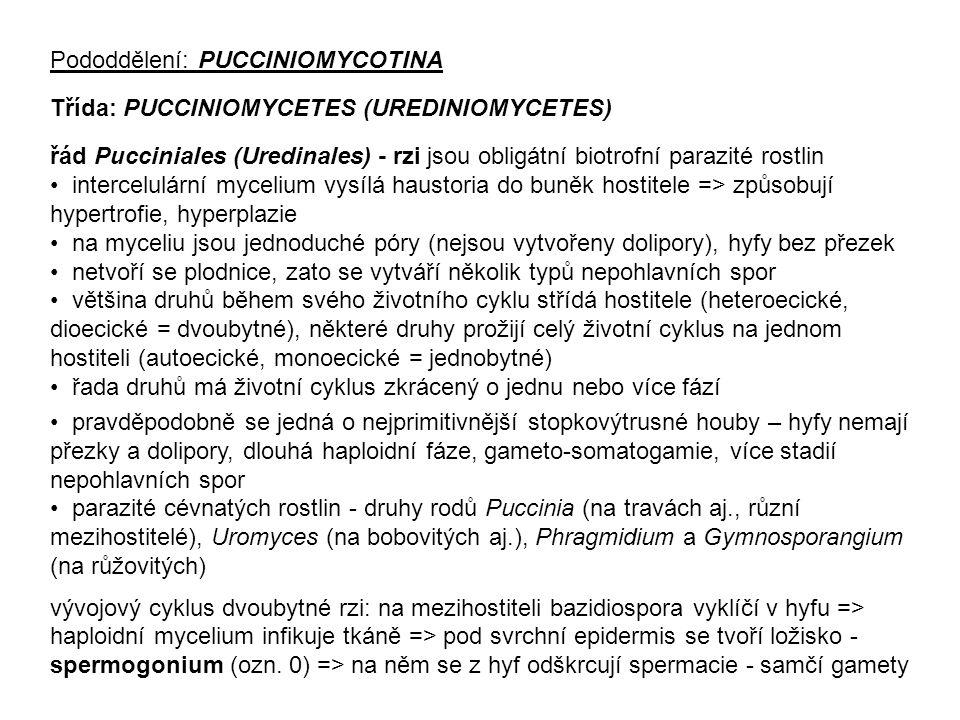 Pododdělení: PUCCINIOMYCOTINA Třída: PUCCINIOMYCETES (UREDINIOMYCETES) řád Pucciniales (Uredinales) - rzi jsou obligátní biotrofní parazité rostlin intercelulární mycelium vysílá haustoria do buněk hostitele => způsobují hypertrofie, hyperplazie na myceliu jsou jednoduché póry (nejsou vytvořeny dolipory), hyfy bez přezek netvoří se plodnice, zato se vytváří několik typů nepohlavních spor většina druhů během svého životního cyklu střídá hostitele (heteroecické, dioecické = dvoubytné), některé druhy prožijí celý životní cyklus na jednom hostiteli (autoecické, monoecické = jednobytné) řada druhů má životní cyklus zkrácený o jednu nebo více fází pravděpodobně se jedná o nejprimitivnější stopkovýtrusné houby – hyfy nemají přezky a dolipory, dlouhá haploidní fáze, gameto-somatogamie, více stadií nepohlavních spor parazité cévnatých rostlin - druhy rodů Puccinia (na travách aj., různí mezihostitelé), Uromyces (na bobovitých aj.), Phragmidium a Gymnosporangium (na růžovitých) vývojový cyklus dvoubytné rzi: na mezihostiteli bazidiospora vyklíčí v hyfu => haploidní mycelium infikuje tkáně => pod svrchní epidermis se tvoří ložisko - spermogonium (ozn.