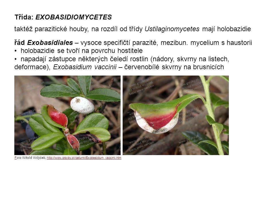 Třída: EXOBASIDIOMYCETES taktéž parazitické houby, na rozdíl od třídy Ustilaginomycetes mají holobazidie řád Exobasidiales – vysoce specifičtí parazité, mezibun.