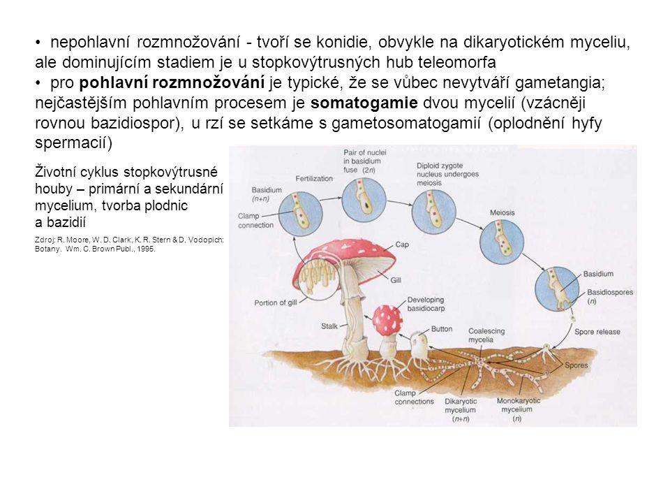 nepohlavní rozmnožování - tvoří se konidie, obvykle na dikaryotickém myceliu, ale dominujícím stadiem je u stopkovýtrusných hub teleomorfa pro pohlavní rozmnožování je typické, že se vůbec nevytváří gametangia; nejčastějším pohlavním procesem je somatogamie dvou mycelií (vzácněji rovnou bazidiospor), u rzí se setkáme s gametosomatogamií (oplodnění hyfy spermacií) Životní cyklus stopkovýtrusné houby – primární a sekundární mycelium, tvorba plodnic a bazidií Zdroj: R.
