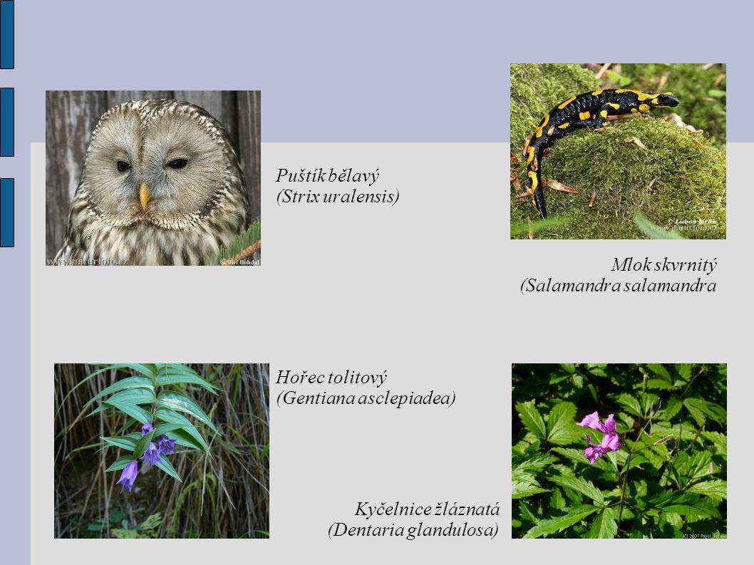 Puštík bělavý (Strix uralensis) Mlok skvrnitý (Salamandra salamandra Kyčelnice žláznatá (Dentaria glandulosa) Hořec tolitový (Gentiana asclepiadea)