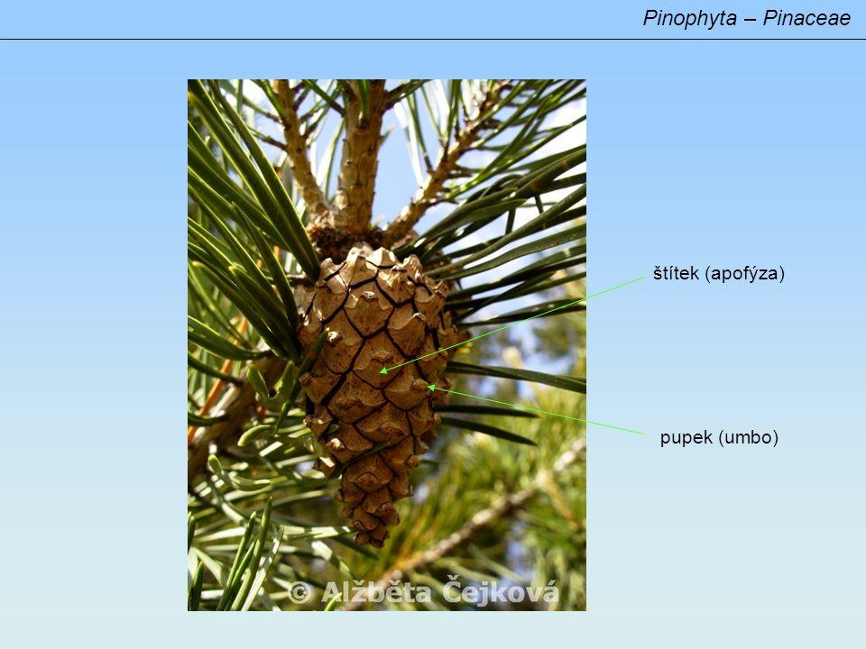 Pinophyta – systematické členění systematické členění: recentně jediná třída (Pinopsida) s množstvím řádů a čeledí (čeleď) Pinaceae častá ektomykorrhiza vždyzelené stromy (vzácně opadavé - Larix) téměř výhradně na severní polokouli (boreální zóna, jižněji hl.