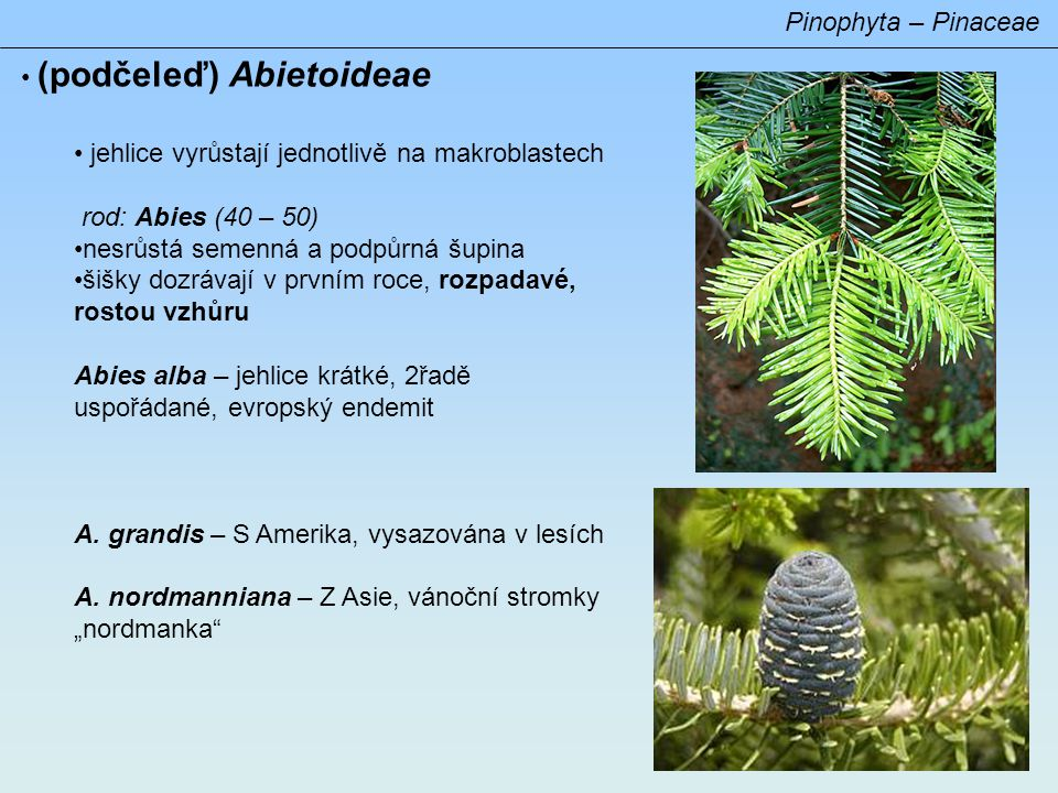 Pinophyta – Pinaceae (podčeleď) Abietoideae rod: Picea (40) jehlice přisedlé či krátce řapíkaté, po opadu vysoké listové polštářky šišky převislé, nerozpadavé, na zralých šiškách podpůrná šupina nezřetelná Picea abies – evrop.