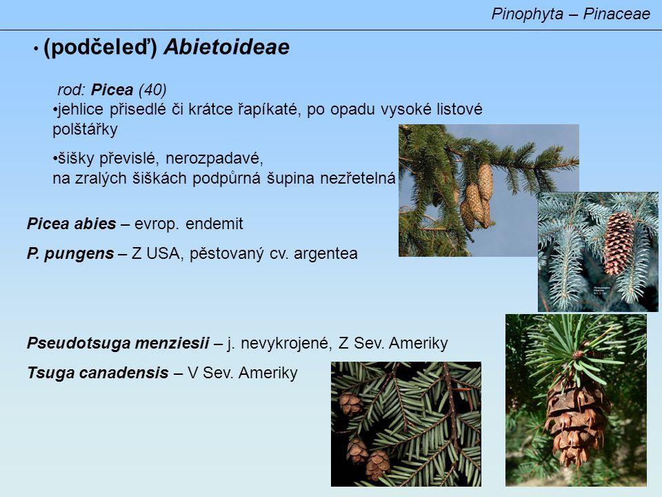 Pinophyta – Pinaceae (podčeleď) Laricoideae –jehlice ve svazečcích i jednotlivě –šištice dvouleté –pylová zrna bez vzdušných vaků Larix decidua – pův.