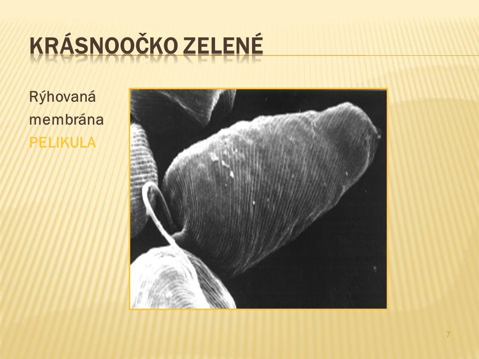 6 Bičík Světločivná skvrna – stigma Paramylon Jádro - nucleolus Chloroplasty Pelikula