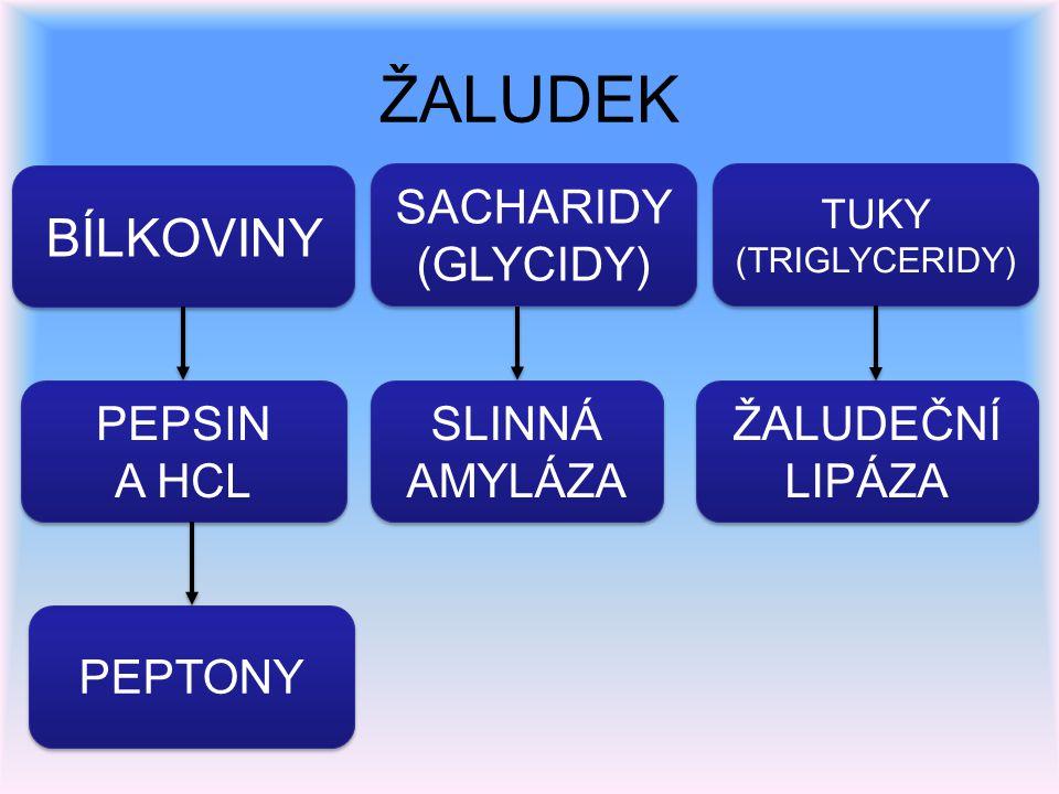 ŽALUDEK BÍLKOVINY SACHARIDY (GLYCIDY) SACHARIDY (GLYCIDY) TUKY (TRIGLYCERIDY) TUKY (TRIGLYCERIDY) PEPSIN A HCL PEPSIN A HCL SLINNÁ AMYLÁZA SLINNÁ AMYL