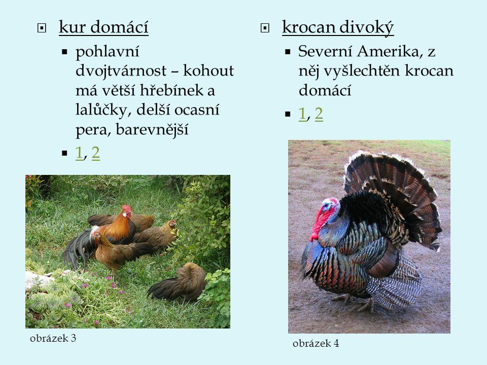  kur domácí  pohlavní dvojtvárnost – kohout má větší hřebínek a lalůčky, delší ocasní pera, barevnější  1, 2 12  krocan divoký  Severní Amerika,