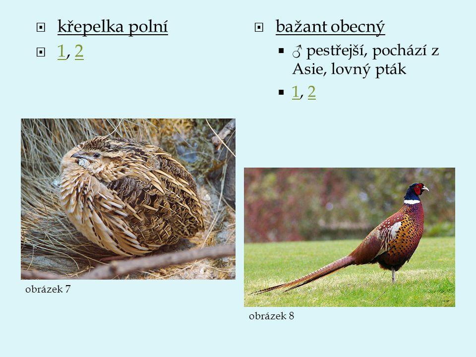  křepelka polní  1, 2 12  bažant obecný  ♂ pestřejší, pochází z Asie, lovný pták  1, 2 12 obrázek 7 obrázek 8