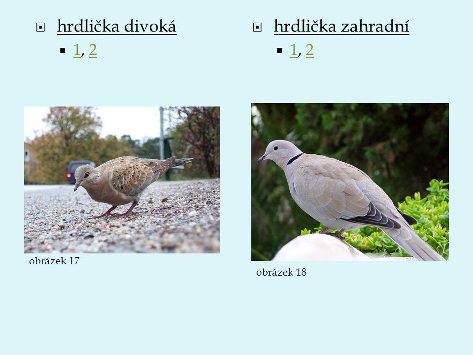  hrdlička divoká  1, 2 12  hrdlička zahradní  1, 2 12 obrázek 17 obrázek 18