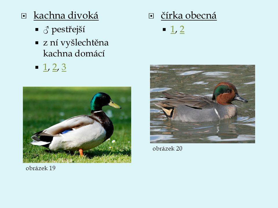  kachna divoká  ♂ pestřejší  z ní vyšlechtěna kachna domácí  1, 2, 3 123  čírka obecná  1, 2 12 obrázek 19 obrázek 20