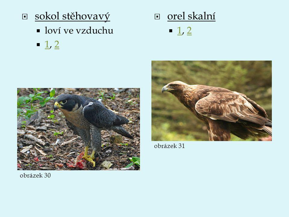  sokol stěhovavý  loví ve vzduchu  1, 2 12  orel skalní  1, 2 12 obrázek 30 obrázek 31