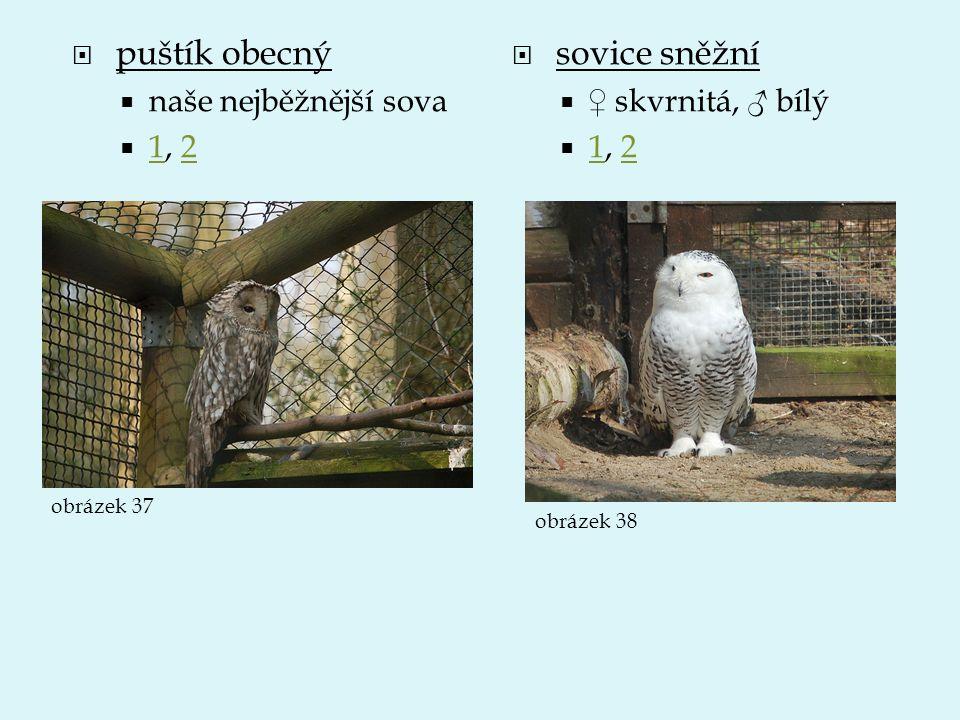  puštík obecný  naše nejběžnější sova  1, 2 12  sovice sněžní  ♀ skvrnitá, ♂ bílý  1, 2 12 obrázek 37 obrázek 38