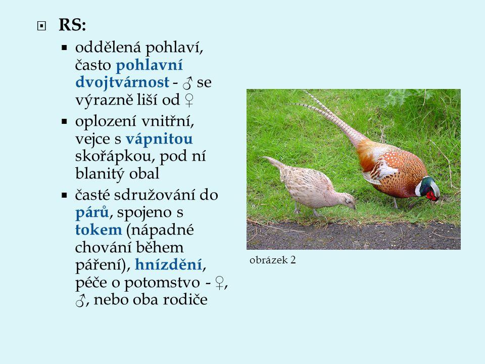  RS:  oddělená pohlaví, často pohlavní dvojtvárnost - ♂ se výrazně liší od ♀  oplození vnitřní, vejce s vápnitou skořápkou, pod ní blanitý obal  č