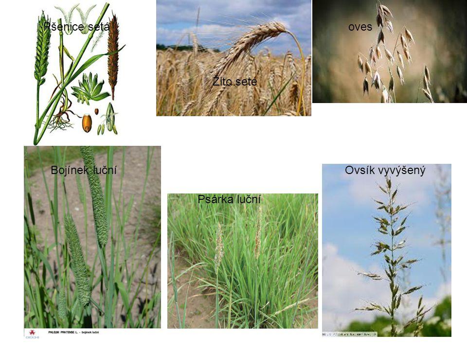 Pšenice setá Žito seté oves Bojínek luční Psárka luční Ovsík vyvýšený