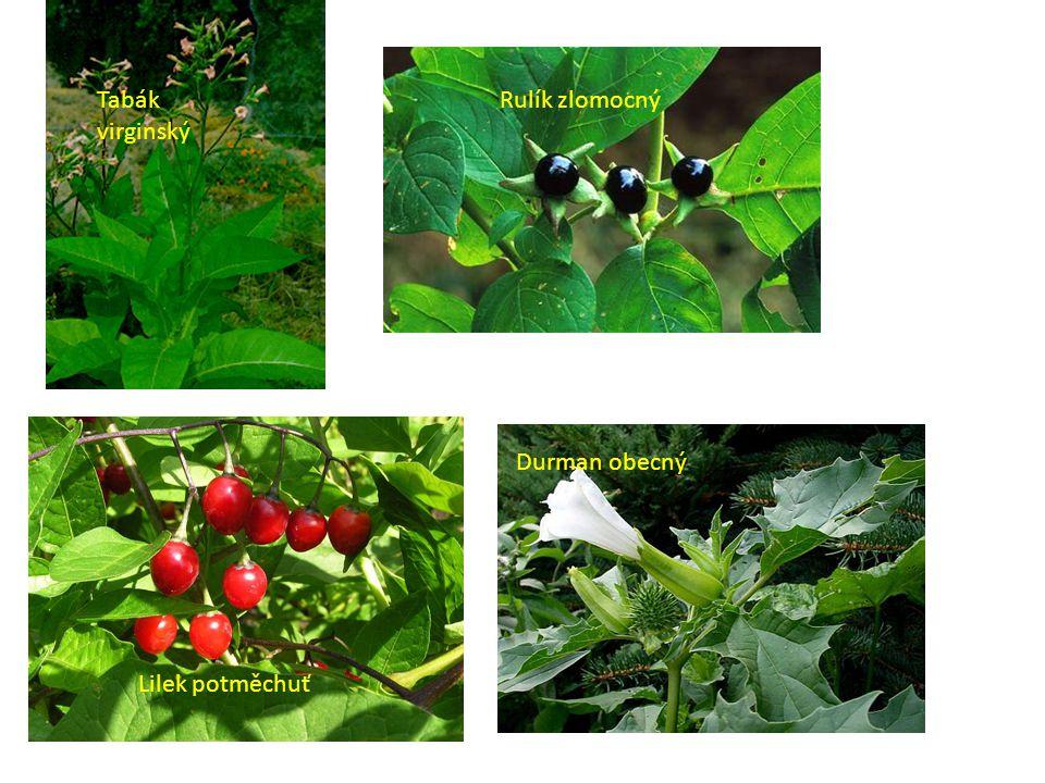 8)Hvězdnicovité druhově nejpočetnější Květy v charakteristických úborech 2 typy květů – trubkovité a jazykovité Vespod úboru je zákrov Plodem – nažky ( někdy s chmýrem)